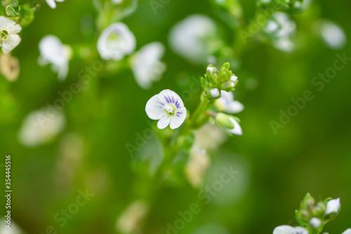 Thyme Leaved Speedwell Flowers in Springtime Fototapet