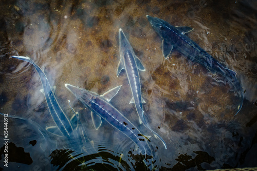 Live sturgeons in the cage in fish breeding farm Canvas Print