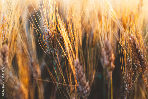 Obraz Cereal grain which is a worldwide staple food, Rural Farming agriculture under sunlight - fototapety do salonu