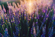 scenery beauty of nature, close up view of blooming lavender flowers