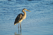 Great Blue Heron;  Sanibel Island;  Florida