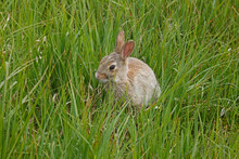 Little Bunny On A Grassy Meadow