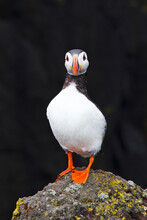 Portrait Of A Puffin From The West Coast Of Scotland