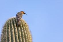 Gila Woodpecker In A Saguaro C...