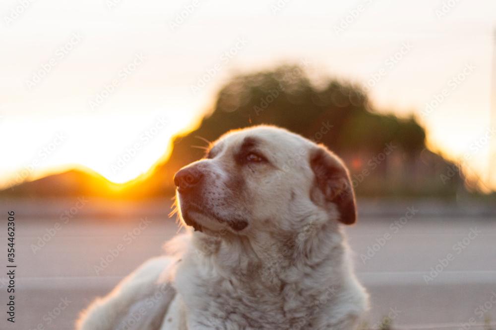 Fototapeta dog, pet, animal, kangal, cute,