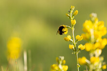 A Bumblebee Has It's Head Buri...