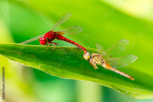 Dragonflies mating perched on a leaf by a river in the garden. Canvas Print
