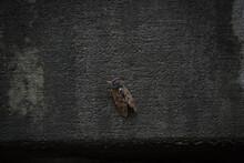 Cicada Bug, Brown Cicada Insec...
