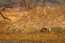 Crested Serpent Eagle Or Spilornis Ground Perched In Sunset Light At Keoladeo National Park Or Bharatpur Bird Sanctuary Rajasthan India