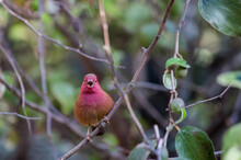 Senegal Red-billed Firefinch (Lagonosticta Senegala) Perched On A Tree Branch In Mozambique And Singing With Its Beak Open