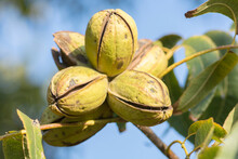 Ripe Pecan Nuts (Carya Illinoinensis) On The Tree, With Husks Open, Ready For Harvest