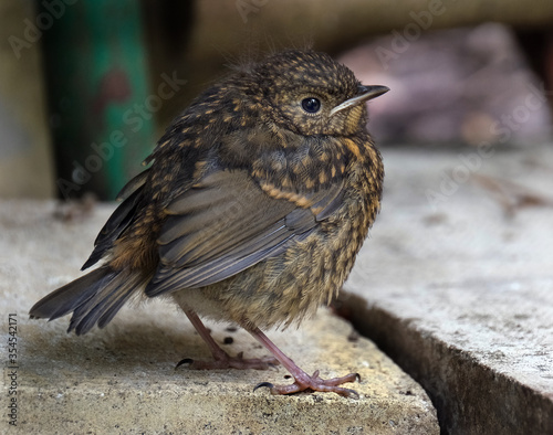 Valokuva The European robin, known simply as the robin or robin redbreast in the British Isles, is a small insectivorous passerine bird, specifically a chat,