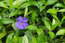 Blue Periwinkle Flowers In Gre...