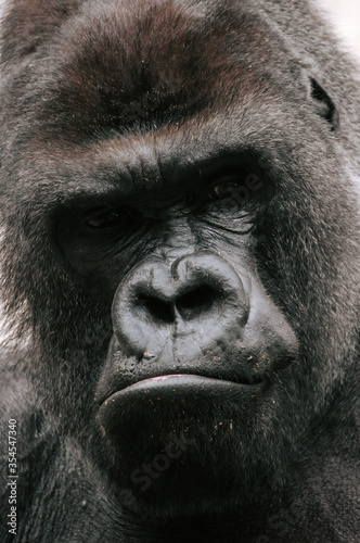 Closeup of the intimidating stare of a large, black, silver back gorilla as he looks directly into the camera.
