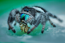 Jumping Spider  Prey