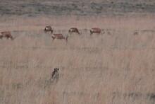 Cheetah Chasing Antelope Buck