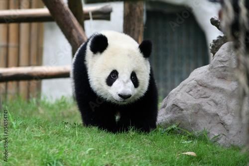 Giant panda cub in captivity Canvas Print