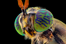 Soldier Fly  Face Extreme Close Up