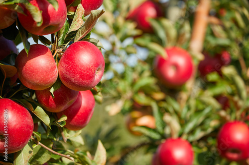 Obraz Juicy red apples hanging on the branch in the apple orchrad during autumn. - fototapety do salonu