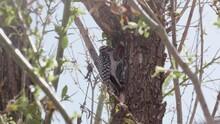Ladder Back Woodpecker Feeding Young