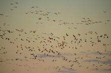 Many Barnacle Geese Fly In The...