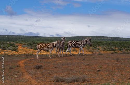 Fototapety, obrazy: Zebras im Naturreservat im National Park Südafrika