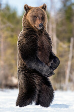 Brown Bear Standing On His Hind Legs In Spring Forest. Scientific Name: Ursus Arctos.