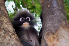 Close Up Dusky Leaf Monkey ...