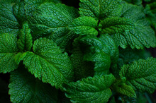 Green Fresh Leaves Of Mint, Le...