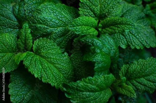 Leinwand Poster Green fresh leaves of mint, lemon balm close-up macro shot