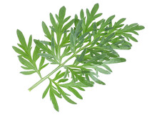 Sprig Of Medicinal Wormwood On A White Background. Sagebrush Sprig. Artemisia, Mugwort. Absinthe Wormwood.