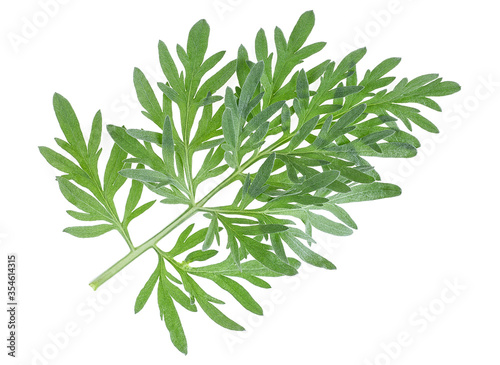 Sprig of medicinal wormwood on a white background Obraz na płótnie