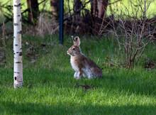 Anchorage Alaska Hare