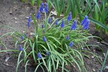 Dense Cluster Of Blue Flowers Of Armenian Grape Hyacinths In April