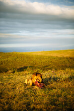 Big Male Lion Lying On The Grass Eating Meat