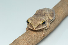 Image Of Common Tree Frog, Four-lined Tree Frog, Golden Tree Frog, (Polypedates Leucomystax) On A Branch. Animal. Amphibians.