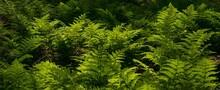 Green Fern Leaves In The Backlight