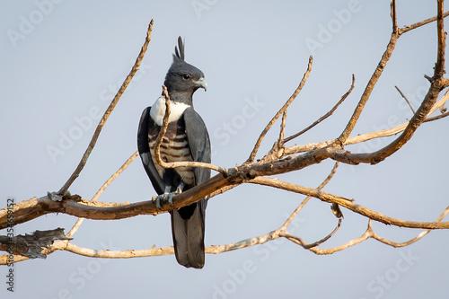 Obraz na plátne Image of Black baza (Aviceda leuphotes) perched on a branch on nature background
