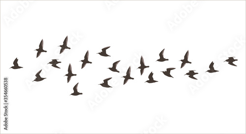 Vector silhouette a flock of small flying birds Canvas