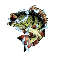 Perch Fish In Water Splashes Concept