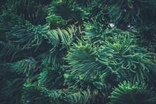 Leaves Of Norfolk Island Pine Tree