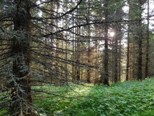 Barren Pine Tree Forest In Summer