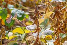 Soybean Pods In Autumn