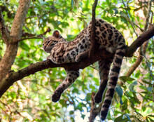 An Ocelot Rests On A Branch Of A Tree In A Central American Jungle Two Paws And Its Tail Hang Down For Balance It Looks Off Camera To The Left A Back Drop Of Green Leaves In The Tree Canopy