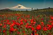 Red poppy field with Ararat mountain