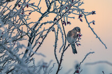 Fieldfare Feeds On Red Rose Hips Of A Wild Rose, The Branches Covered In A Delicate Lace Of Snow Which Sprinkles Down As The Bird Pecks Backlit By The Pale Orange Glow Of Sunrise