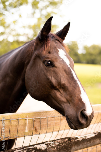 Portrait of a dressage and jumping horse in pasture, brown with white on it's face.