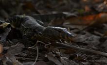 Bengal Monitor Lizard In A Jun...