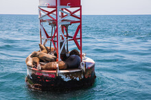 Sea Lions And On A Buoy