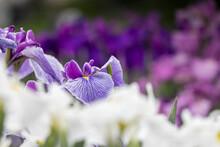 色鮮やかな菖蒲の花 ...